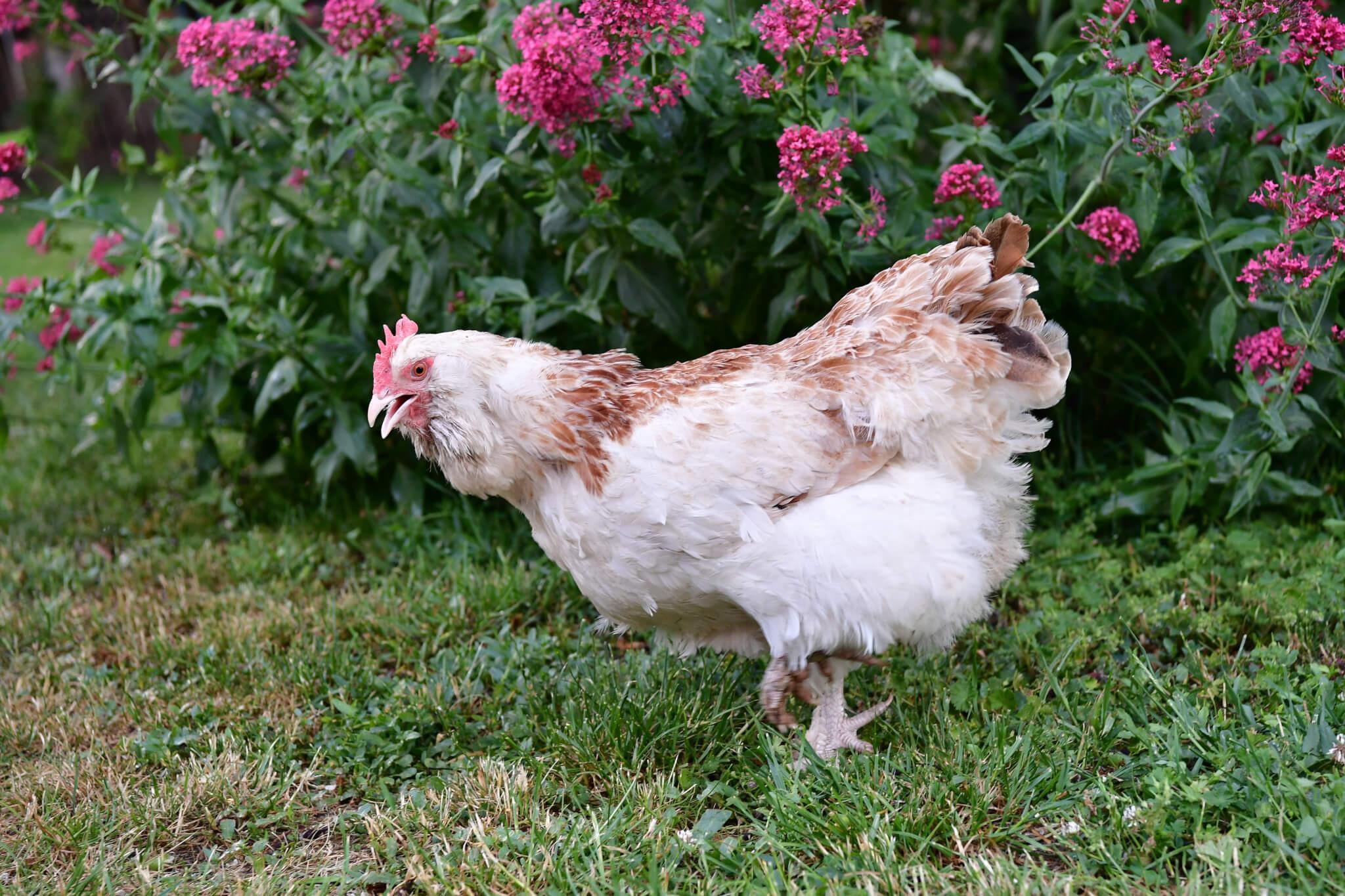 Bilder für Hühnerkalender 2020